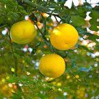 Yuzu and Kabosu: Japan's citrus culinary treasures